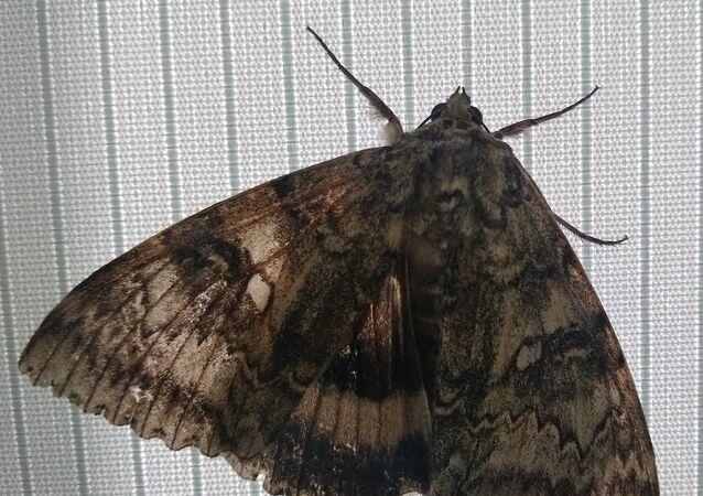 العثور على فراشة بحجم طائر في تشيرنوبل