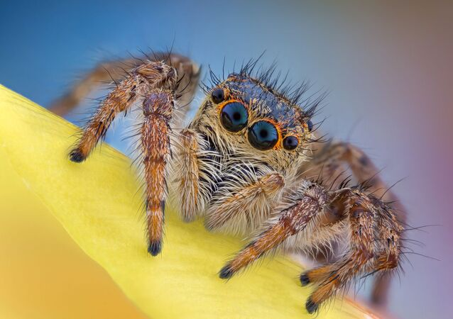 صورة العنكبوت القافز (Salticidae)، للمصور الروماني أندريه نيكا، التي دخلت قائمة صور متميزة في مسابقة نيكون لتصوير العالم الصغير لعام 2020