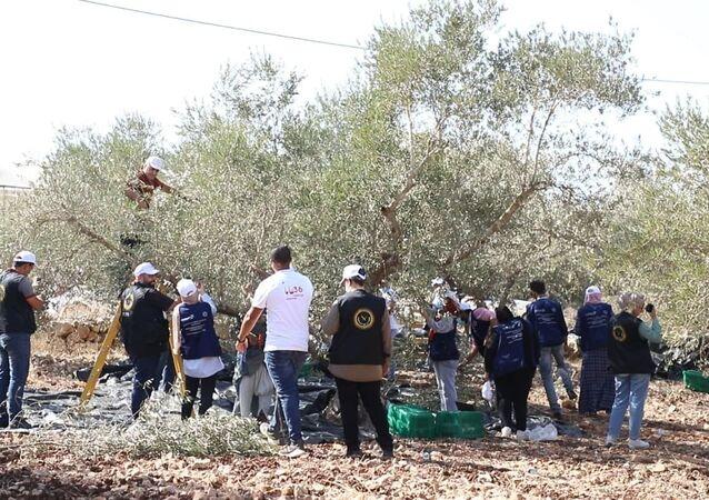 حملة مساعدة المزارعين في قطف الزيتون قرب المستوطنات الإسرائيلية