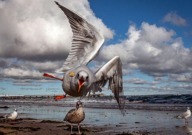 طائر النورس يقبض على قطعة من الخبز ألقاها سائح في بحر البلطيق في تيمندورفر ستراند في ألمانيا، 17 أكتوبر 2020