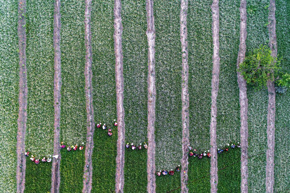صورة بعنوان نساء يحصدن البابونج، للمصور الإيراني كافيه سيدأحمديان، التي فازت بالمركز الأول في فئة الطبيعة/ تصوير جوي/ الدرون للمصورين المحترفين في مسابقة جوائز التصوير الدولية 2020