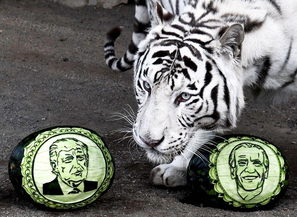 نمر بنغالي أبيض يدعى خان يختار بين بطيختين نُحتت عليهما صورتي المرشحين الرئاسيين الأمريكيين دونالد ترامب وجو بايدن، في حديقة النباتات والحيوانات روييف روتشيه في كراسنويارسك الروسية، 22 أكتوبر 2020
