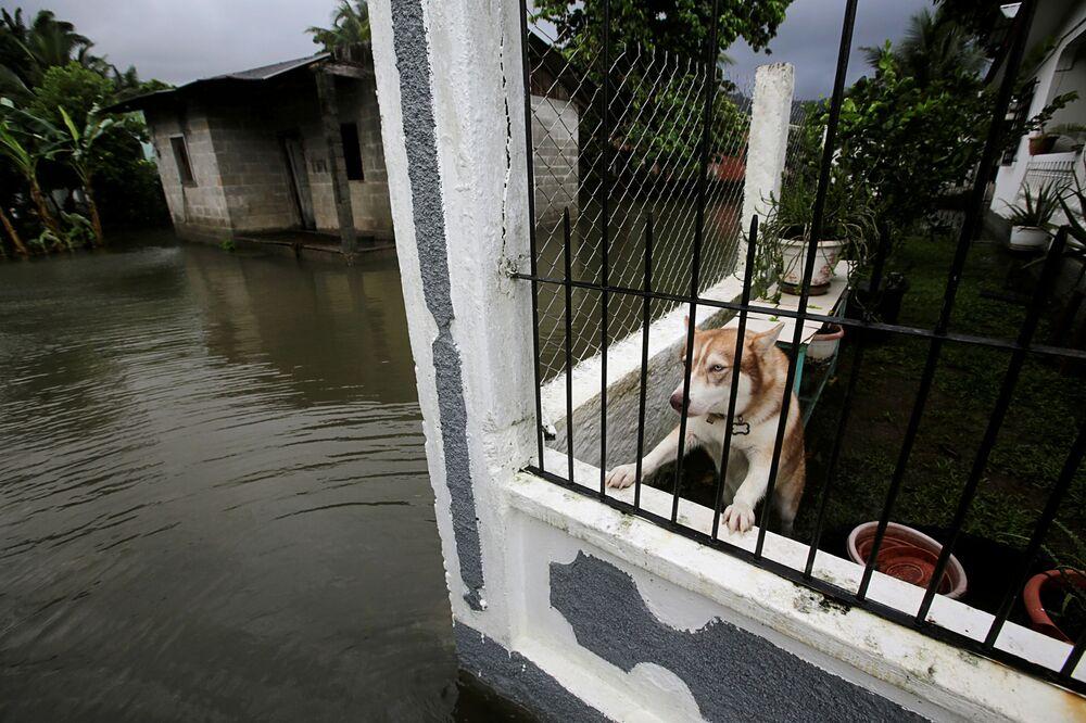 كلب داخل منزل في حي تضرر من الفيضانات بسبب إعصار إيتا في تيلا، هندوراس، 3 نوفمبر 2020