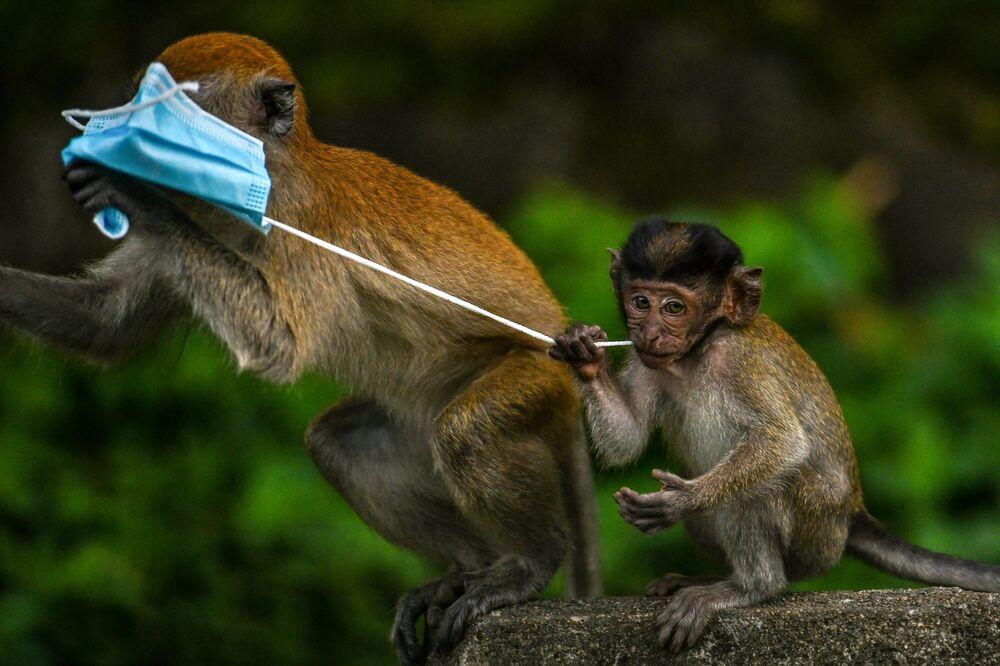 قرود المكاك تلعب بالكمامة، المستخدمة كإجراء وقائي ضد انتشار فيروس كورونا كوفيد-19، التي تركه أحد المارة في جنتنغ سيمبا ولاية باهانغ، ماليزيا، 30 أكتوبر 2020