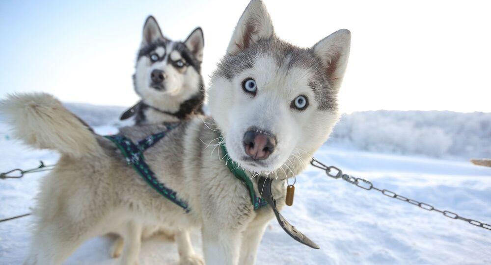 كلاب من فصيلة هاسكي  تجر الزلاجات على طرق سياحية في سيبيريا في متنزه الشفق القطبي السياحي في منطقة مورمانسك الروسية، 30 يناير 2020