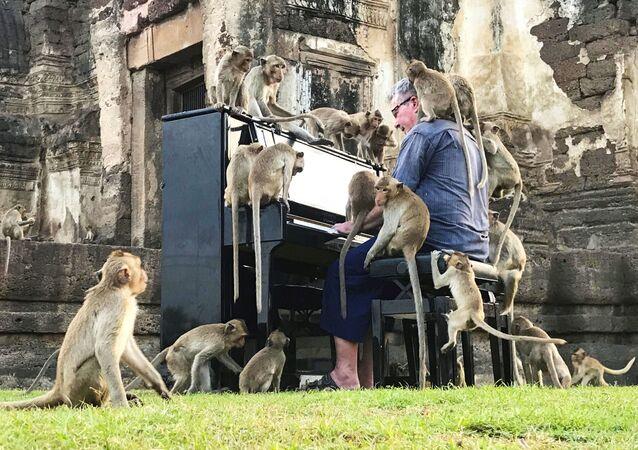 الموسيقي البريطاني بول بارتون يعزف على البيانو للقرود التي تسكن مناطق تاريخية مهجورة في لوبوري، تايلاند، 21 نوفمبر 2020