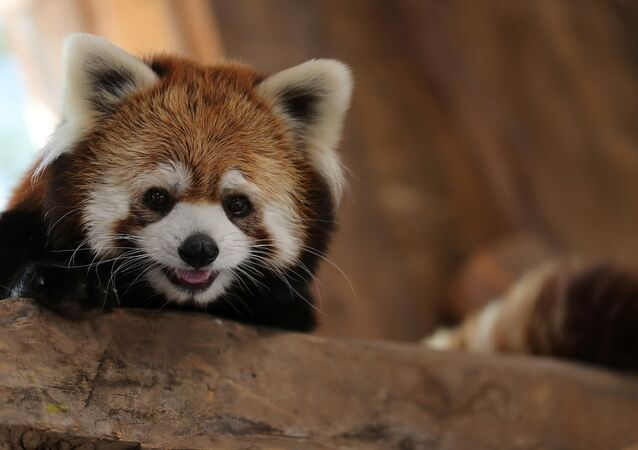 حديقة حيوان تشيلي تقدم حيوانات الباندا الحمراء النادرة