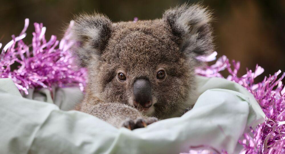 صغير الكوالا في حديقة أسترالية