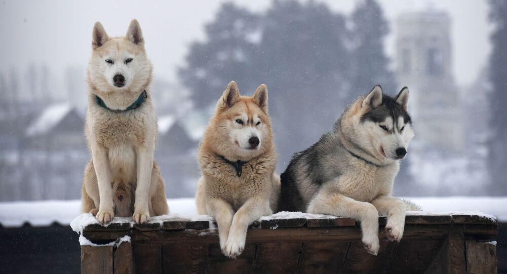 كلاب الهاسكي في قرية روزسكايا ألاسكا في منطقة موسكو.