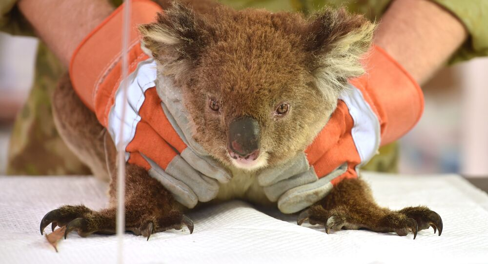 يتم علاج كوالا مصابًا في مستشفى ميداني مؤقت في متنزه جزيرة كانغارو للحياة البرية، 14 يناير 2020. تم إنقاذ مئات من حيوانات الكوالا ونقلها إلى الحديقة لتلقي العلاج بعد أن دمرت حرائق الغابات الجزيرة قبالة الساحل الجنوبي لأستراليا.