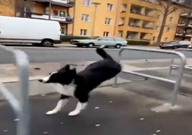 كلب رشيق يجتاز الحواجز