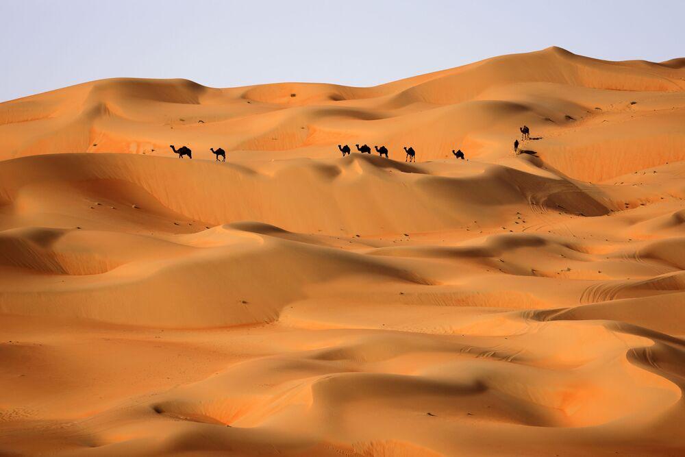 جمال في صحراء ليوا، على بعد حوالي 250 كيلومترا غرب إمارة أبو ظبي الخليجية، 9 يناير 2021