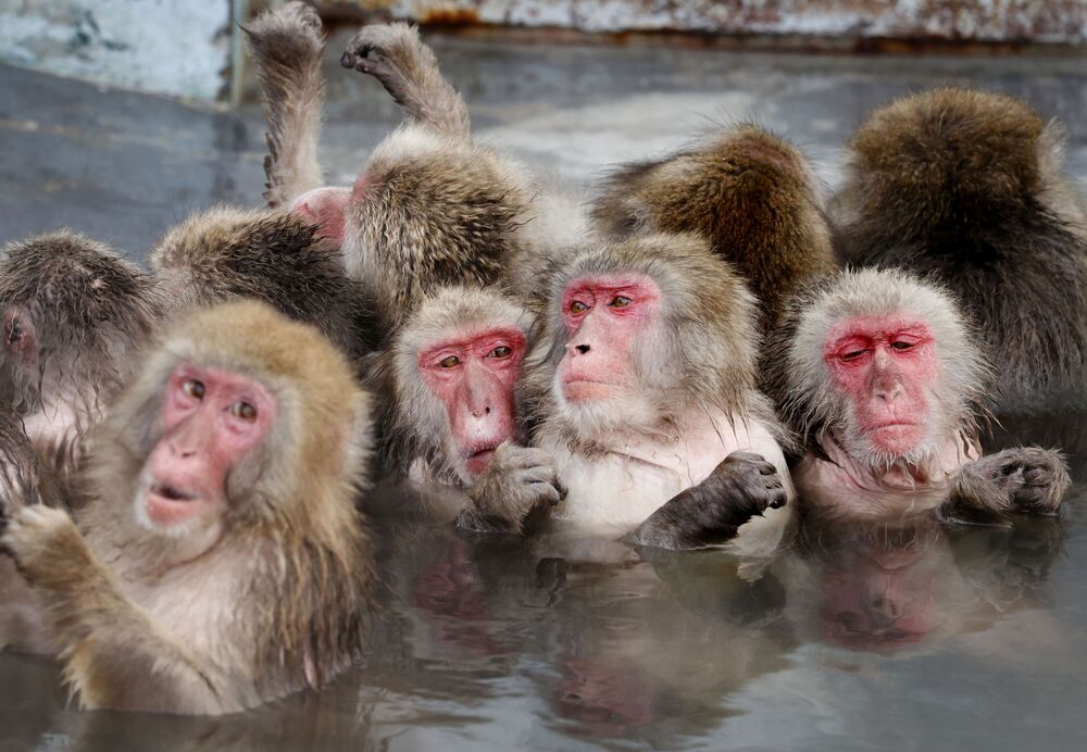 قرود المكاك اليابانية تنقع في ينبوع ساخن في حديقة نباتات هاكوداته الاستوائية في جزيرة هوكايدو الرئيسية في أقصى شمال اليابان، 12 يناير 2021