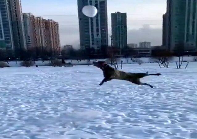 كلب يمارس الرياضة فوق الثلوج