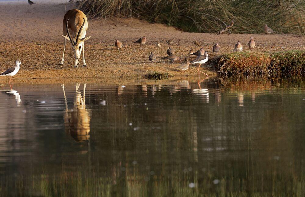 غزال الرمال العربية (Gazella marica)، والمعروفة باسم ريم، في واحة صحراوية في منتجع تلال (Telal Resort) في ضواحي مدينة العين في أقصى شرق إمارة أبو ظبي الإمارات العربية المتحدة 26 يناير 2020.