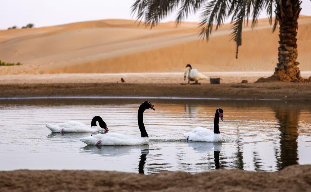 منظر للبجع ذو العنق الأسود (Cygnus melancoryphus) وهو يسبح في بركة في واحة صحراوية في منتجع تلال (Telal Resort) في ضواحي مدينة العين في أقصى شرق إمارة أبو ظبي الإمارات العربية المتحدة 26 يناير 2020.