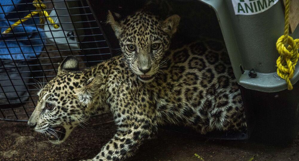 أشبال جاكوار في حديقة الحيوانات الوطنية في ماسايا ، نيكاراغوا في 27 يناير 2021