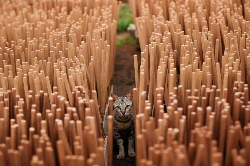 قطة بين أعواد البخور التي تجف داخل المصنع، قبل السنة القمرية الصينية الجديدة، في تانجيرانج، في ضواحي جاكرتا، إندونيسيا، 10 فبراير 2021