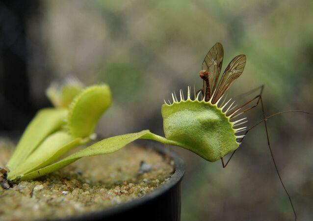 نبتة صائدة الذباب فينوس (Dionaea muscipula)