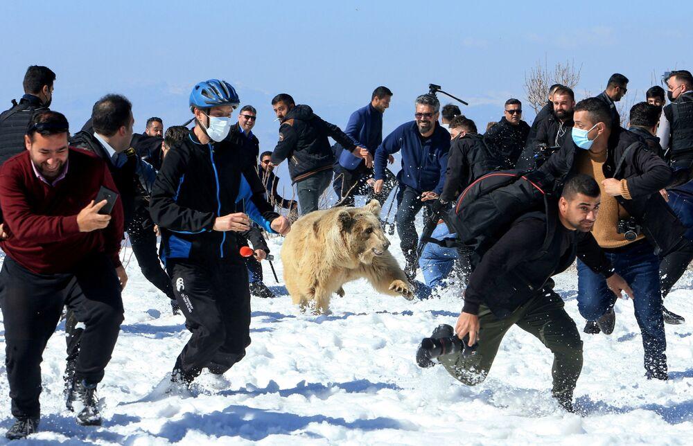 الناس وأفراد الأمن يهربون بينما يطلق نشطاء حقوق الحيوان الأكراد دبًا في البرية بعد إنقاذ الدببة من الأسر في منازل الناس في دهوك، العراق، 11 فبراير 2021.