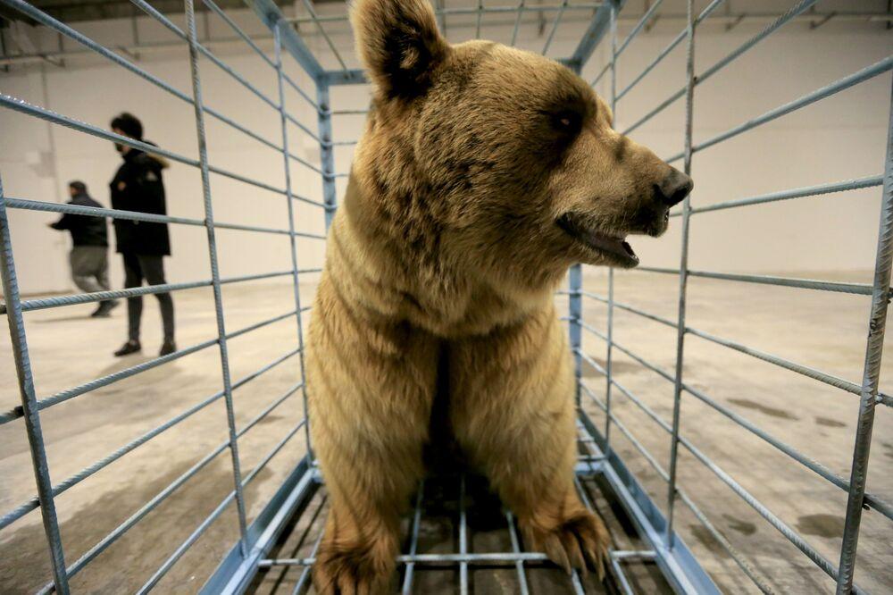 نشطاء حقوق الحيوان الأكراد يستعدون لإطلاق الدببة في البرية بعد إنقاذ الدببة من الأسر في منازل الناس في دهوك، العراق، 11 فبراير 2021.