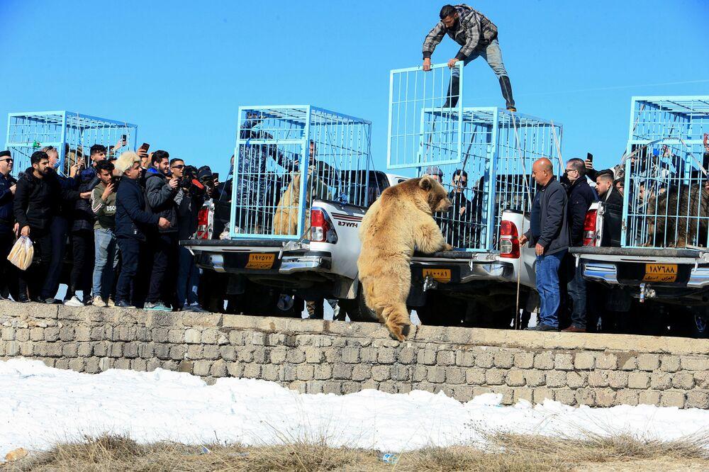 مواطنون وصحفيون يشاهدون اطلاق نشطاء حقوق الحيوان الأكراد لدب في البرية بعد إنقاذ الدببة من الأسر في منازل الناس في دهوك، العراق، 11 فبراير 2021.