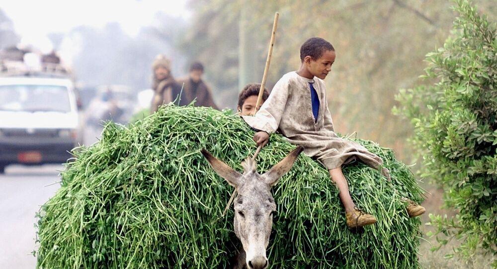 صبي مصري يركب حمارا محملا بالخضروات في مدينة جرجا بصعيد مصر، 4 يناير/ كانون الثاني 2000