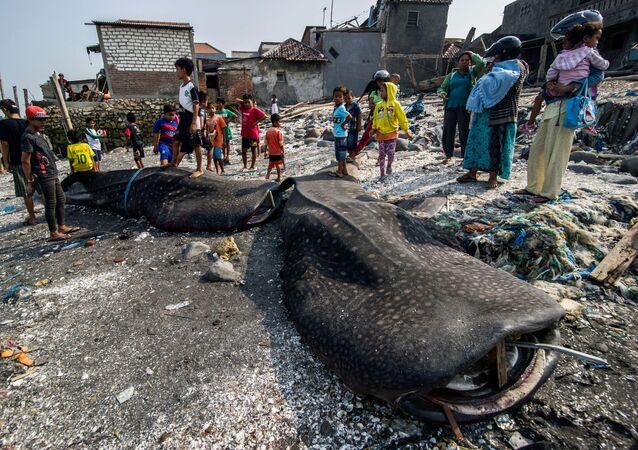 جنوح أسماك قرش الحوت على شاطئ البحر