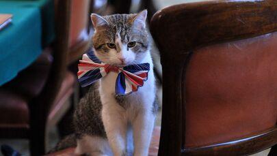 القط لاري يرتدي ربطة عنق بألوان علم بريطانيا يجلس على كرسي في مكتب 10 داونينغ ستريت، بمناسبة الاحتفالات قبيل الزفاف الملكي الأمير البريطاني ويليام وكيت ميدلتون، إنجلترا 28 أبريل 2011