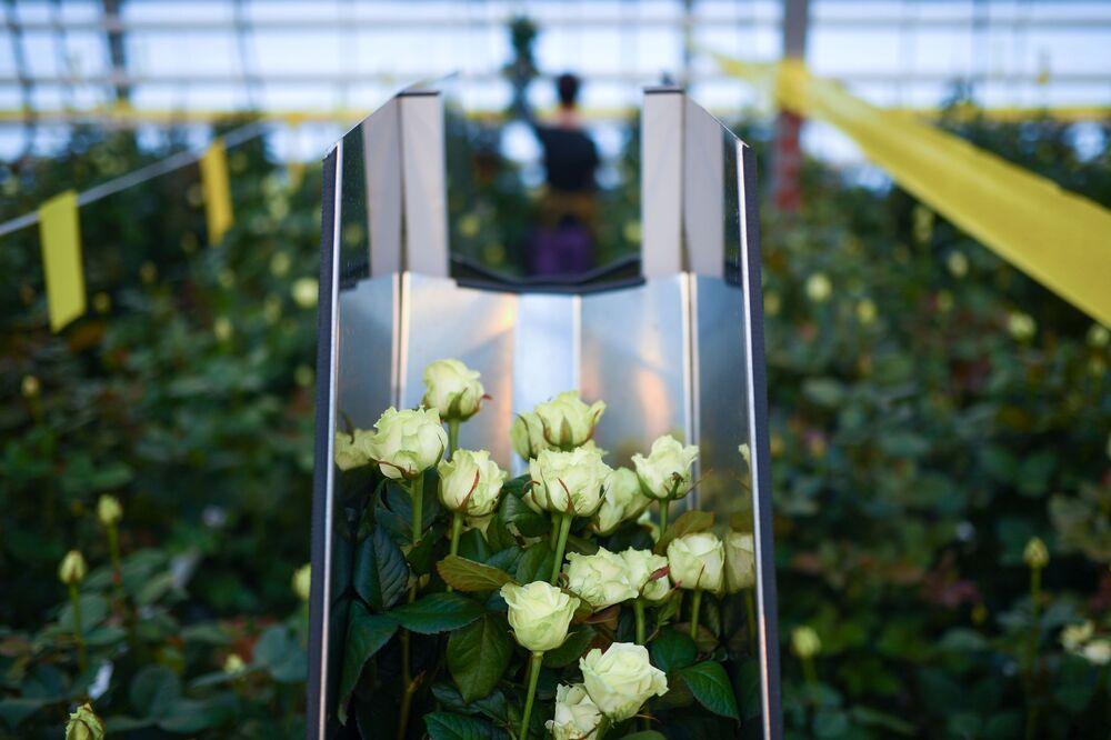 زراعة ورود الجوري الهولندية، في دفيئة نوفوسيبيرسك في منطقة نوفوسيبيرسك الروسية، التي تم افتتاحها في نهاية عام 2020.