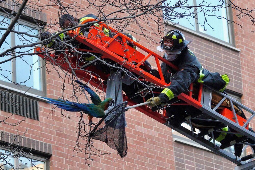 رجال الإطفاء في نيويورك يقومون بعملية إنفقاذ طائر الببغاء يدعى دايلان، الذي علق بين أغصان شجرة في مانهاتن، نيويورك، 22 مارس 2021
