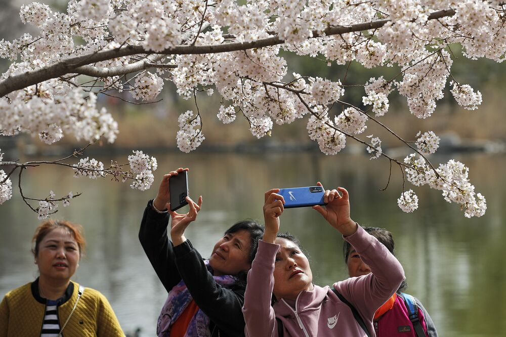 نساء يلتقطن صورا لأزهار شجر الكرز الشهيرة في هذا الوقت من العام، بكين، الصين 31 مارس 2021