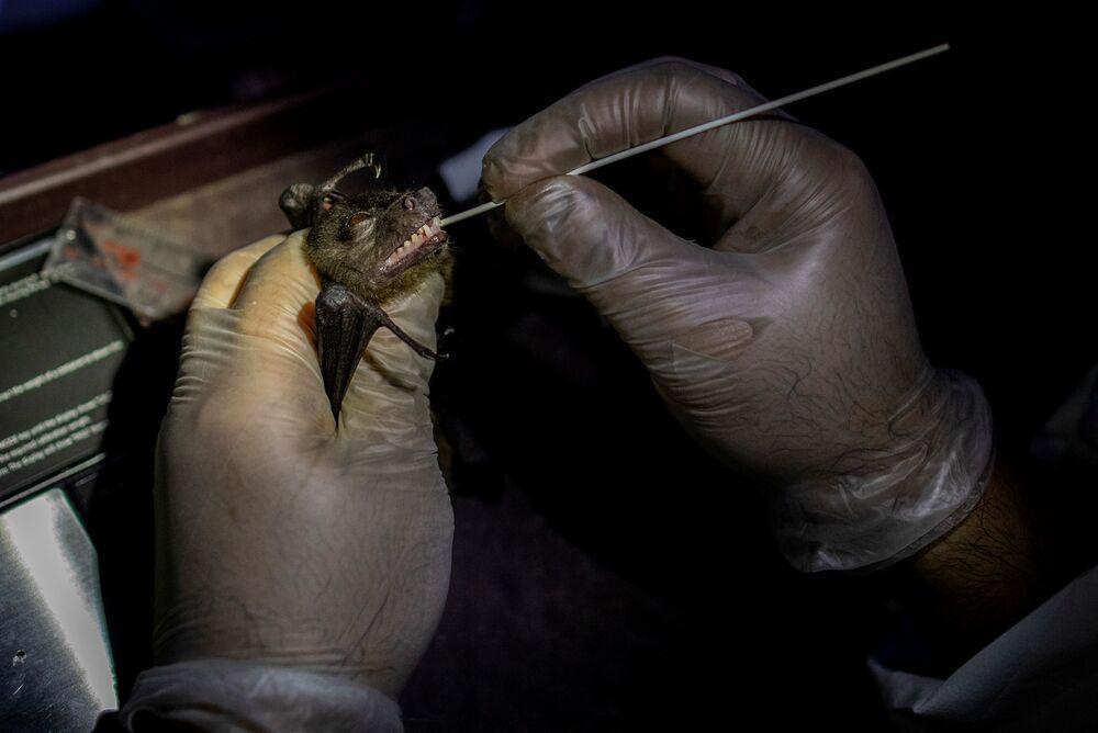 أخصائي بيئة الخفافيش، فيليب ألفيولا، يأخذ مسحة من فم الخفاش في مبنى جامعة لوس بانوس للأحياء، في منطقة جبل ماكيلينغ في لوس بانوس، مقاطعة لاغونا، الفلبين، 19 فبراير 2021