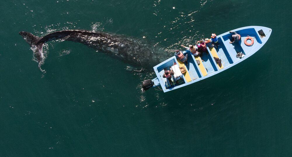 منظر جوي لحوت رمادي يقترب من قارب به سياح يشاهدون الحيتان في منطقة أوجو دي ليبر لاجون في غيريرو نيغرو، ولاية باجا كاليفورنيا سور، المكسيك، 27 مارس 2021.