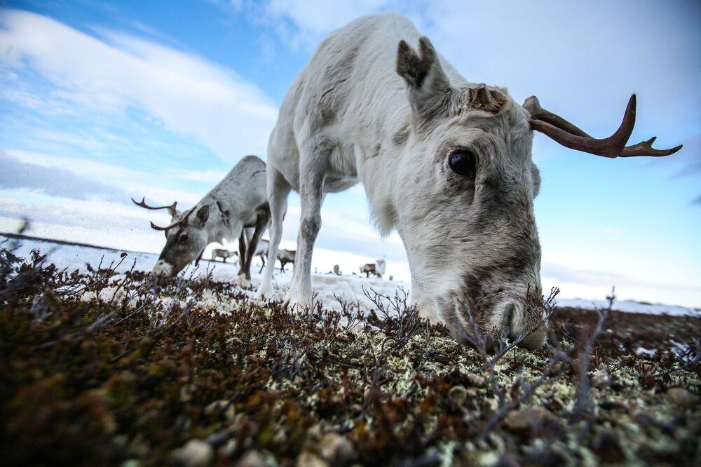 حيوانات الرنة في مرعى جمعية تندرا التعاونية للإنتاج الزراعي بالقرب من قرية لوفوزيرو، منطقة مورمانسك الروسية، 29 مارس 2021