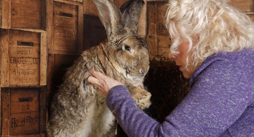 أضخم أرنب في العالم