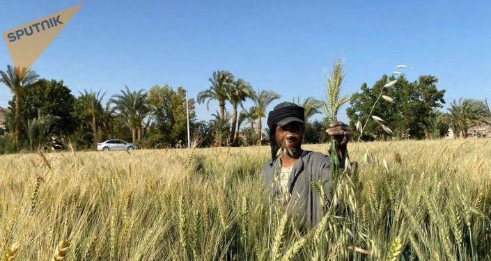 انطلاق موسم حصاد القمح في مصر