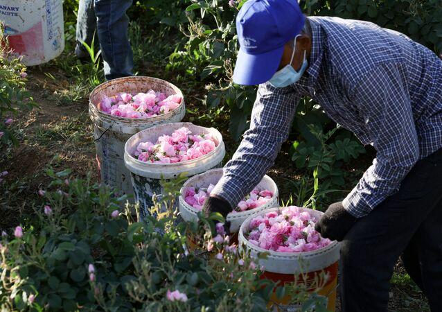 عامل يقطف الورود الدمشقية لإنتاج ماء الورد والزيت، في مزرعة بن سلمان في مدينة الطائف غرب السعودية 11 أبريل 2021