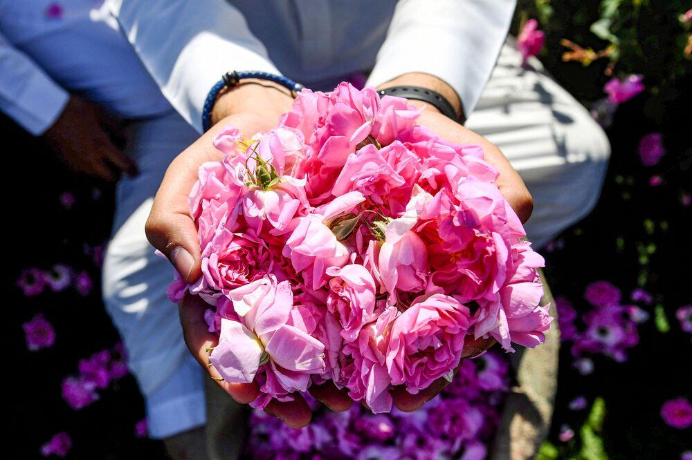 رجل سعودي يحمل حفنة من الورود في مزرعة بن سلمان في مدينة الطائف، السعودية 13 مارس 2021