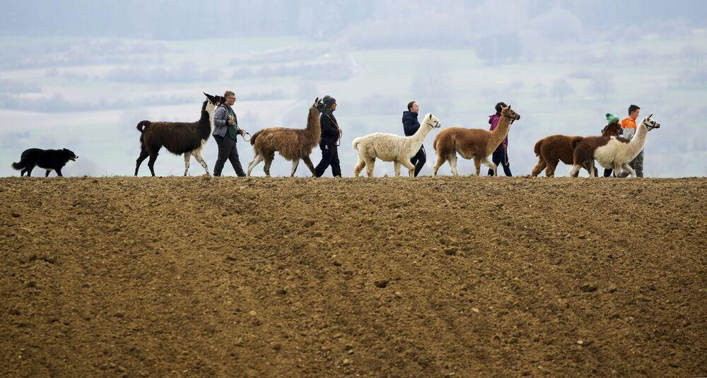 عائلة بلوتشينغ تسير برفقة حيوانات لاما وألباكا وكلب موغلي، في مراعي والدهاوسنن، ألمانيا 18 أبريل 2021