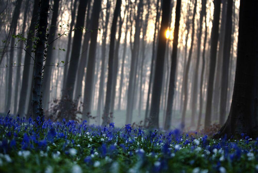 الغابة الزرقاء هالربوس في هول، بلجيكا، 20 أبريل 2021