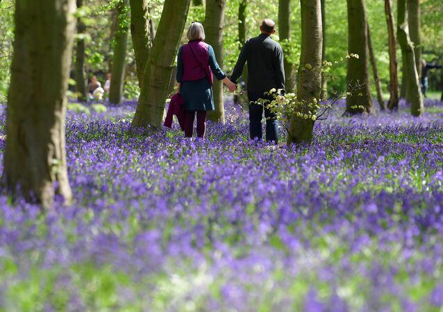 غابة تغطيها نبات صفير غير سكريبتا الذي يتميز بأزهار رزقاء اللون، في إيبينغ فورست في لندن، بريطانيا، 27 أبريل 2021