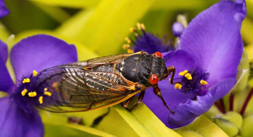حشرة سيكادا