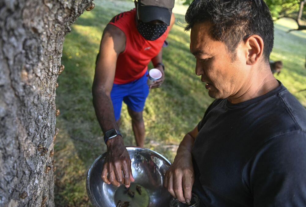 طاهي بون لاي (يمين) يجمع حشرات سيكادا لطهيها خلال مهرجان سيكادا في حديقة فورت توتين بارك في واشنطن، الولايات المتحدة الأمريكية، 23 مايو 2021