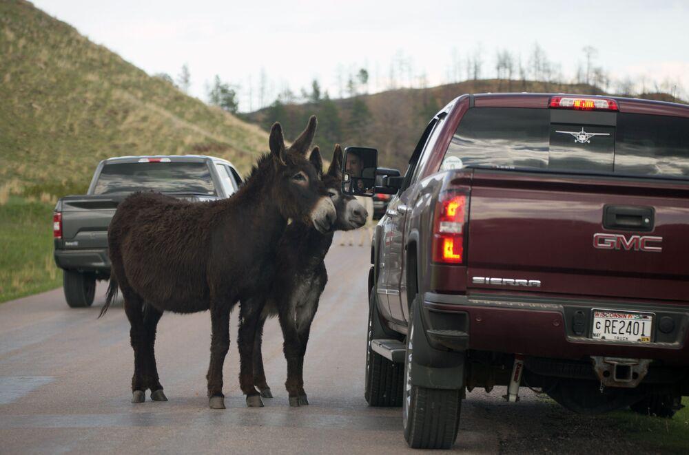 زوج من حيوان الجحش يوقف سائق سيارة لتناول وجبة خفيفة على طريق حلقة الحياة البرية في حديقة كستر ستيت، بالقرب من كاستر، جنوب ولاية داكوتا الأمريكية 25 مايو 2021