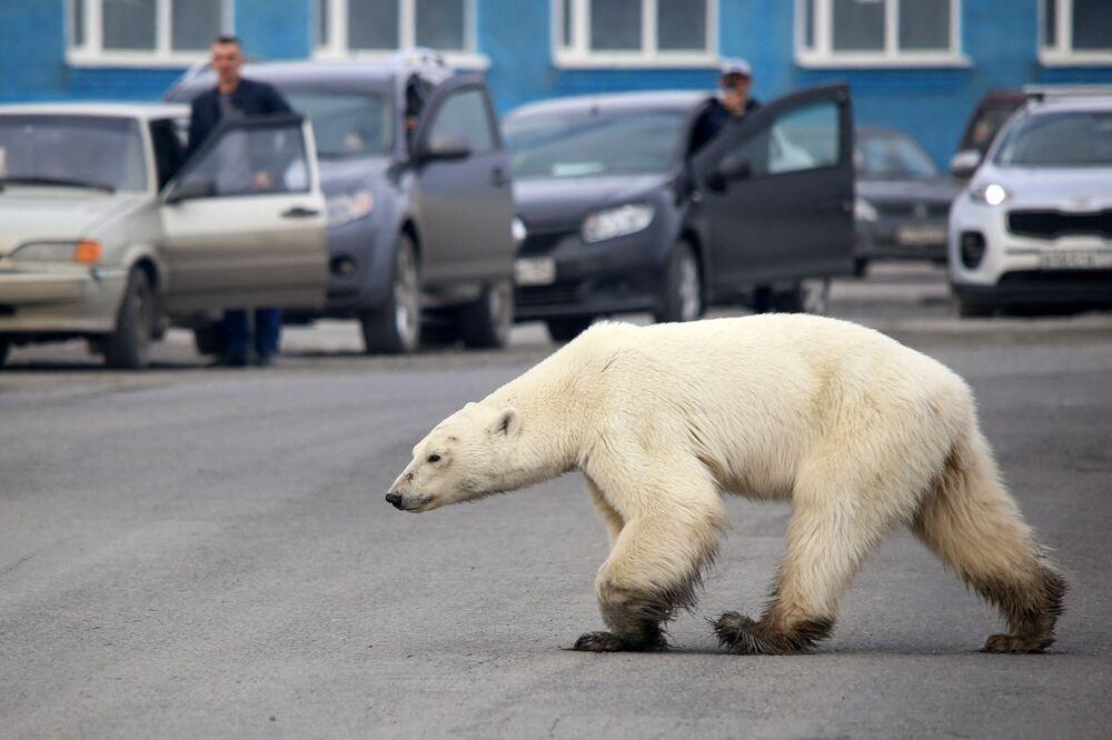 الدب الأبيض يسير في إحدى شوارع منطقة صناعية في مدينة نوريلسك، روسيا 18 يونيو 2019