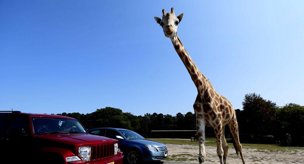 زرافة تعبر الطريق أمام سيارتين في جاكسون، ولاية نيو جيرسي الأمريكية 30 أغسطس 2012