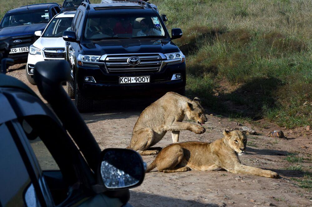 لبؤتان تستريحان على جانب طريق في حديقة نيروبي الوطنية في نيروبي، 21 يونيو 2020