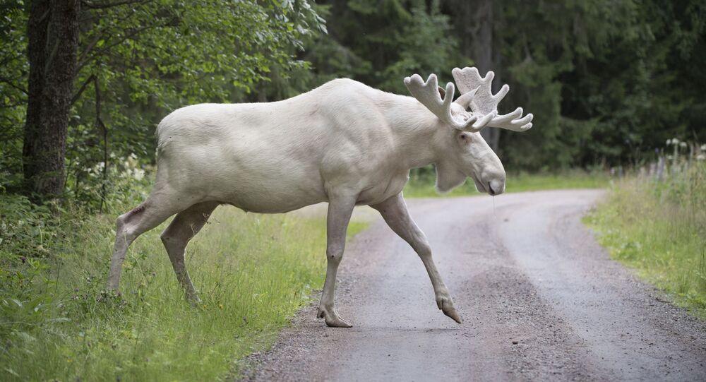 حيوان نادر من الأيل الأبيض في جونارسكوغ، مقاطعة فارملاند، السويد، 31 يوليو 2017