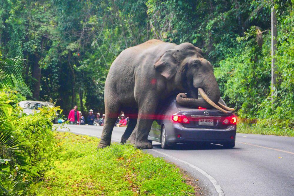فيل بري يوقف سيارة على طريق في حديقة كخاو ياي الوطنية في مقاطعة ناخون راتشاسيما في تايلاند، 29 أكتوبر 2019.